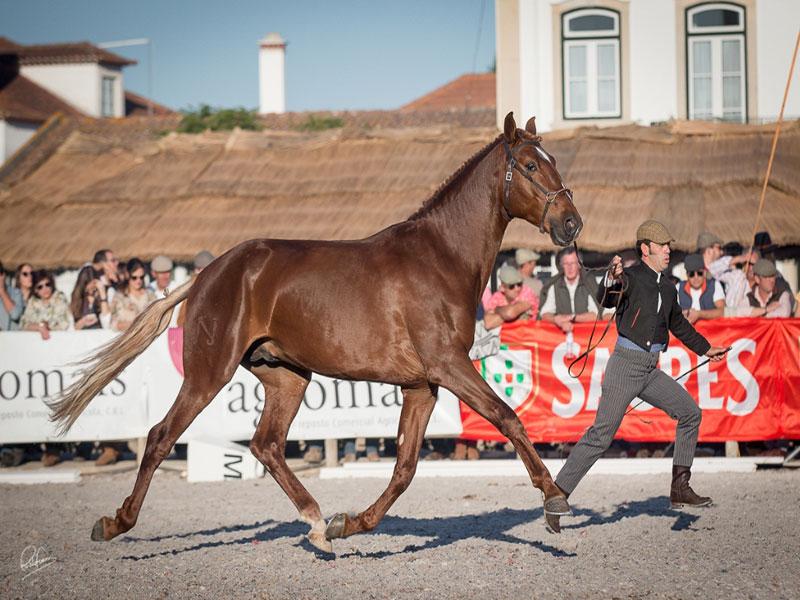cavalos-para-venda-joio-1
