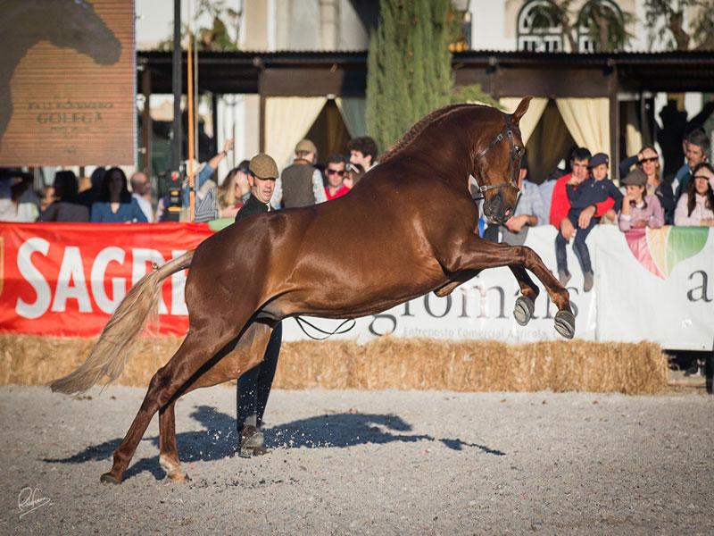 cavalos-para-venda-joio-2