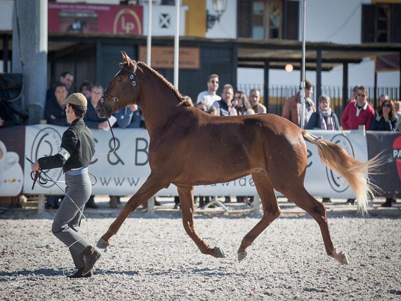 cavalos-para-venda-joio-3