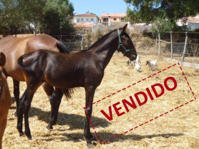 ladino-vendido